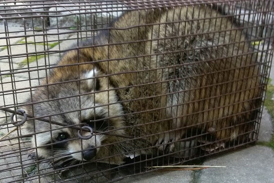 raccoon removal massachusetts