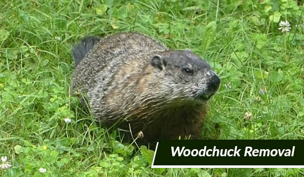 woodchuck removal in Massachusetts